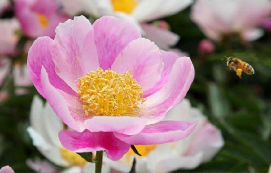 산청 정광들 작약꽃 만개_벌이 작약꽃에서 꽃가루을 모으고 있다.jpg